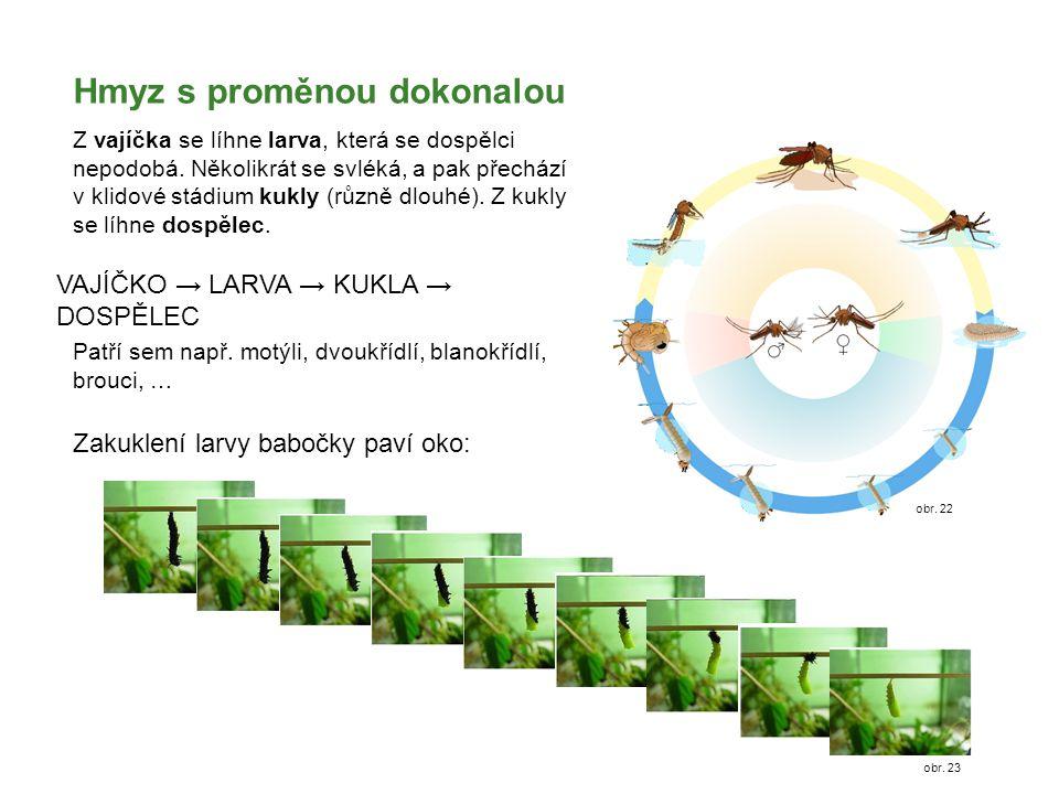 Hmyz s proměnou dokonalou Z vajíčka se líhne larva, která se dospělci nepodobá. Několikrát se svléká, a pak přechází v klidové stádium kukly (různě dl