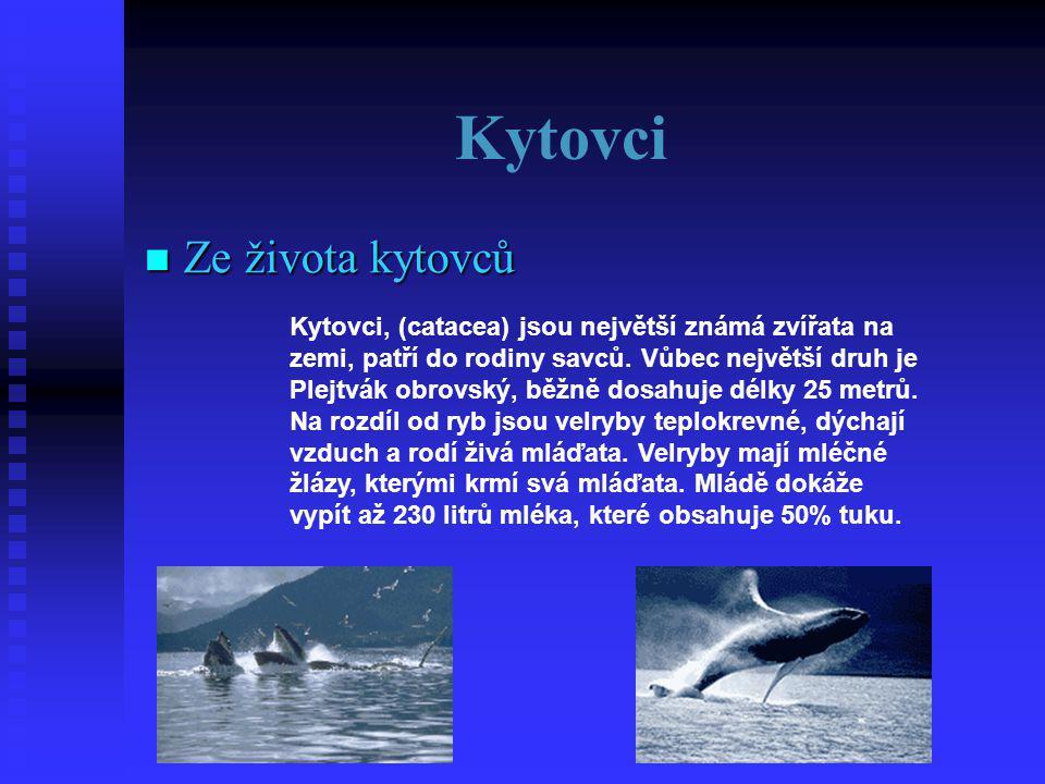 Kytovci  Ze  Ze života kytovců Kytovci, (catacea) jsou největší známá zvířata na zemi, patří do rodiny savců.