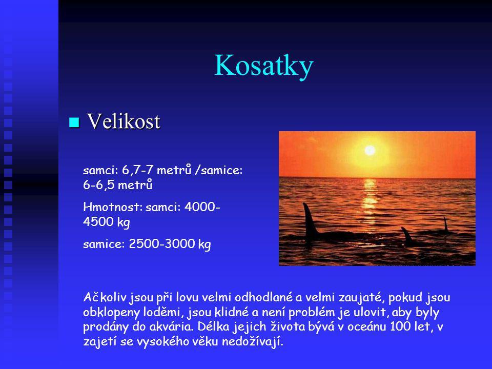 Kosatky  Velikost samci: 6,7-7 metrů /samice: 6-6,5 metrů Hmotnost: samci: 4000- 4500 kg samice: 2500-3000 kg Ačkoliv jsou při lovu velmi odhodlané a velmi zaujaté, pokud jsou obklopeny loděmi, jsou klidné a není problém je ulovit, aby byly prodány do akvária.