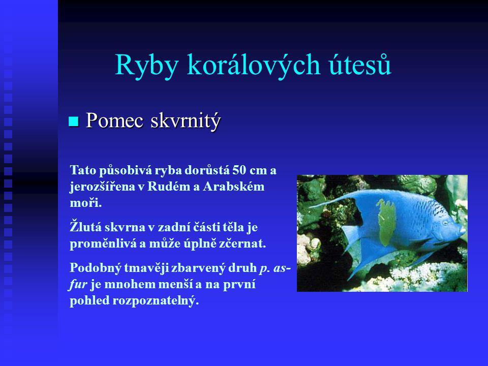 Ryby korálových útesů  Pomec skvrnitý Tato působivá ryba dorůstá 50 cm a jerozšířena v Rudém a Arabském moři.