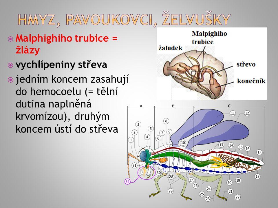  Malphighiho trubice = žlázy  vychlípeniny střeva  jedním koncem zasahují do hemocoelu (= tělní dutina naplněná krvomízou), druhým koncem ústí do s