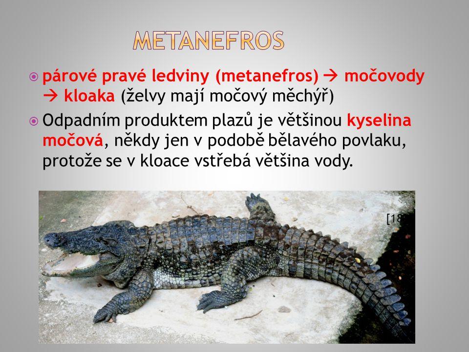  párové pravé ledviny (metanefros)  močovody  kloaka (želvy mají močový měchýř)  Odpadním produktem plazů je většinou kyselina močová, někdy jen v