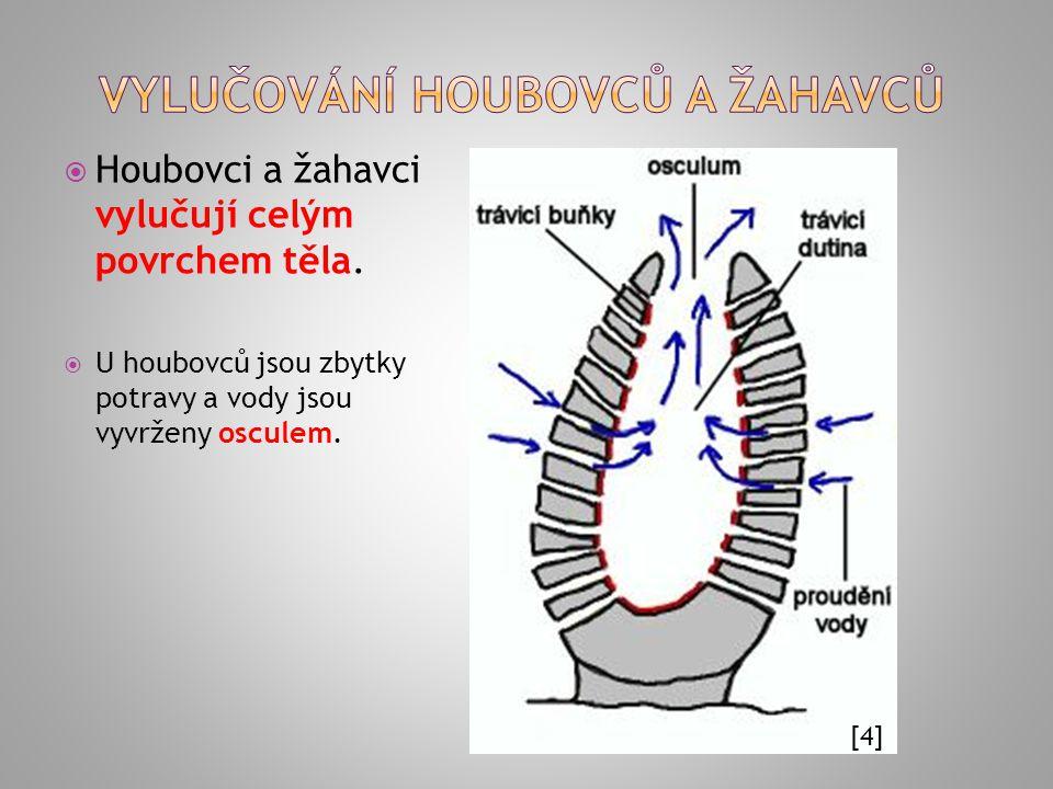  Objevují se protonefridie, tvoří je terminální buňka a vývodný kanálek ústící otvorem na povrch těla  2 základní typy: plaménkové buňky (v dutině kanálku chomáček brv) solenocyty (v dutině kanálku 1 až 2 bičíky)  pomocí bičíků se vytváří podtlak − nasávání zplodin metabolismu z okolních tkání Z plaménkové buňky vybíhá kanálek, do kterého ústí svazek brv.