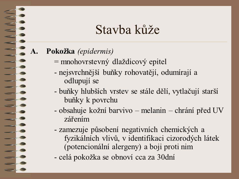 Pokožka (epidermis)