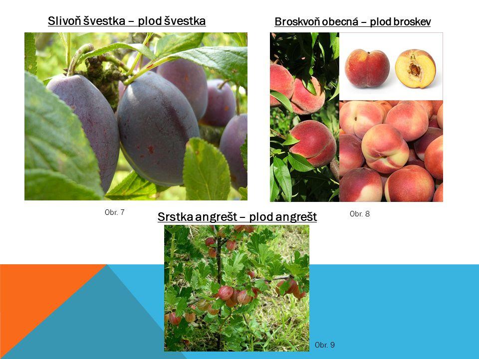 Rybíz černý – plod rybízRybíz červený – plod rybíz Jahodník obecný – plod jahoda Obr.