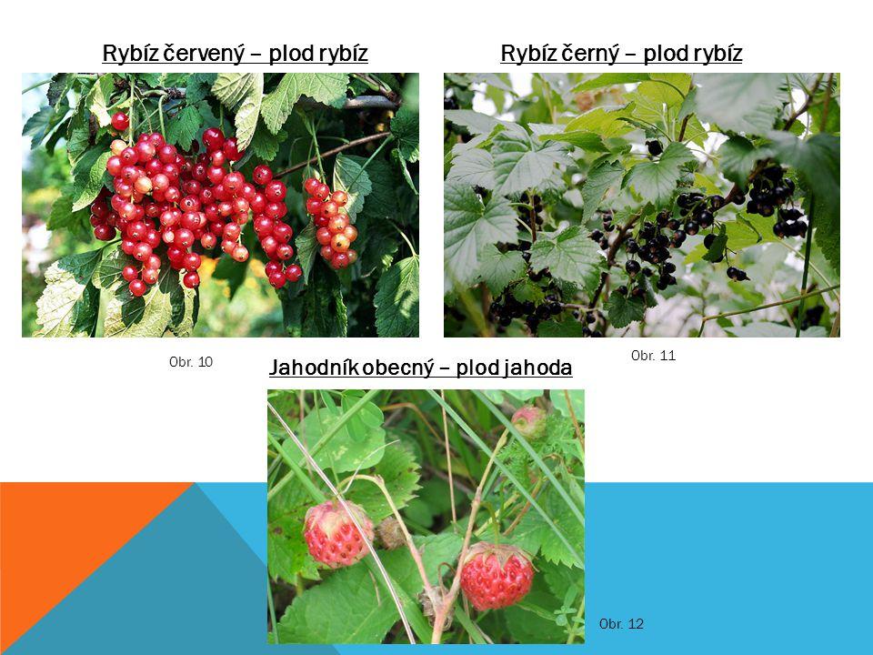 Rybíz černý – plod rybízRybíz červený – plod rybíz Jahodník obecný – plod jahoda Obr. 11 Obr. 10 Obr. 12