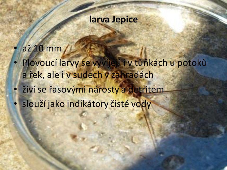 larva Jepice • až 10 mm • Plovoucí larvy se vyvíjejí i v tůňkách u potoků a řek, ale i v sudech v zahradách • živí se řasovými nárosty a detritem • slouží jako indikátory čisté vody