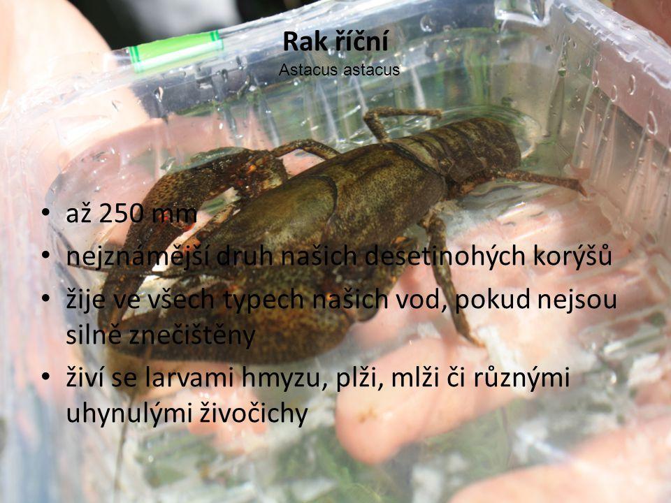 Rak říční • až 250 mm • nejznámější druh našich desetinohých korýšů • žije ve všech typech našich vod, pokud nejsou silně znečištěny • živí se larvami