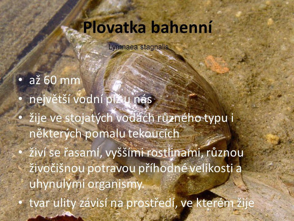 Plovatka bahenní • až 60 mm • největší vodní plž u nás • žije ve stojatých vodách různého typu i některých pomalu tekoucích • živí se řasami, vyššími