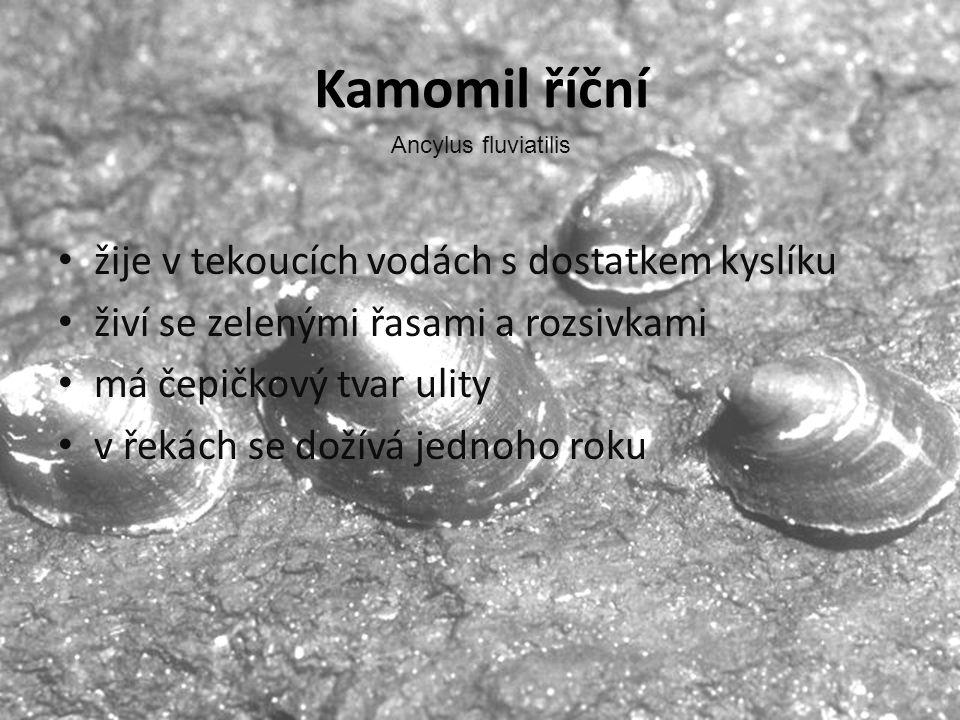 Kamomil říční • žije v tekoucích vodách s dostatkem kyslíku • živí se zelenými řasami a rozsivkami • má čepičkový tvar ulity • v řekách se dožívá jedn