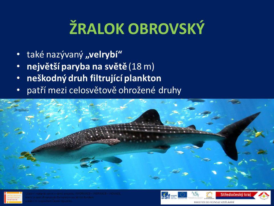 """ŽRALOK OBROVSKÝ • také nazývaný """"velrybí"""" • největší paryba na světě (18 m) • neškodný druh filtrující plankton • patří mezi celosvětově ohrožené druh"""