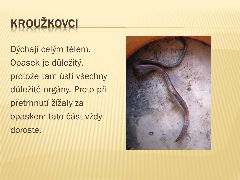 PLŽI MLŽI Mají měkké tělo, které se skládá z hlavy a měkké nohy, někteří měkkýši mají vápenitou schránku (ulitu nebo lasturu), žijí na zemi ve vodě.