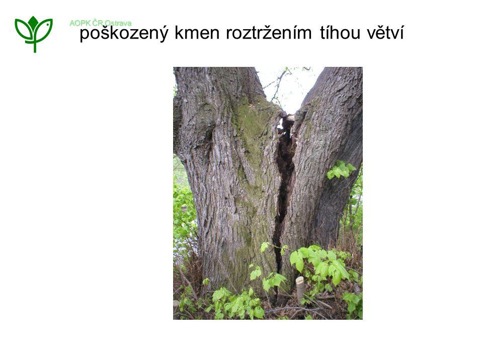 poškozený kmen roztržením tíhou větví AOPK ČR Ostrava