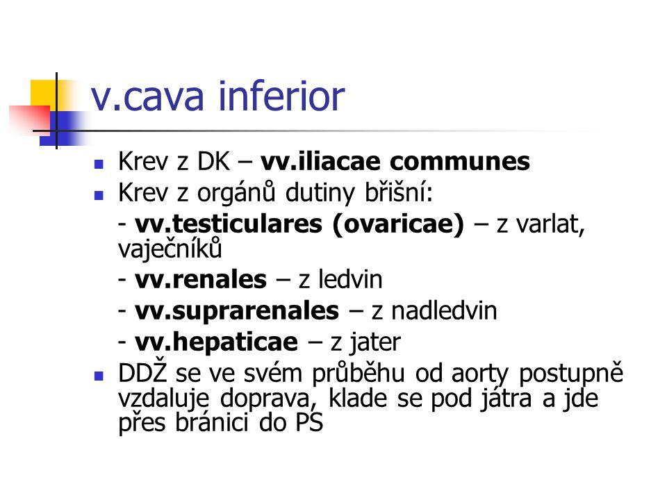 v.cava inferior  Krev z DK – vv.iliacae communes  Krev z orgánů dutiny břišní: - vv.testiculares (ovaricae) – z varlat, vaječníků - vv.renales – z l