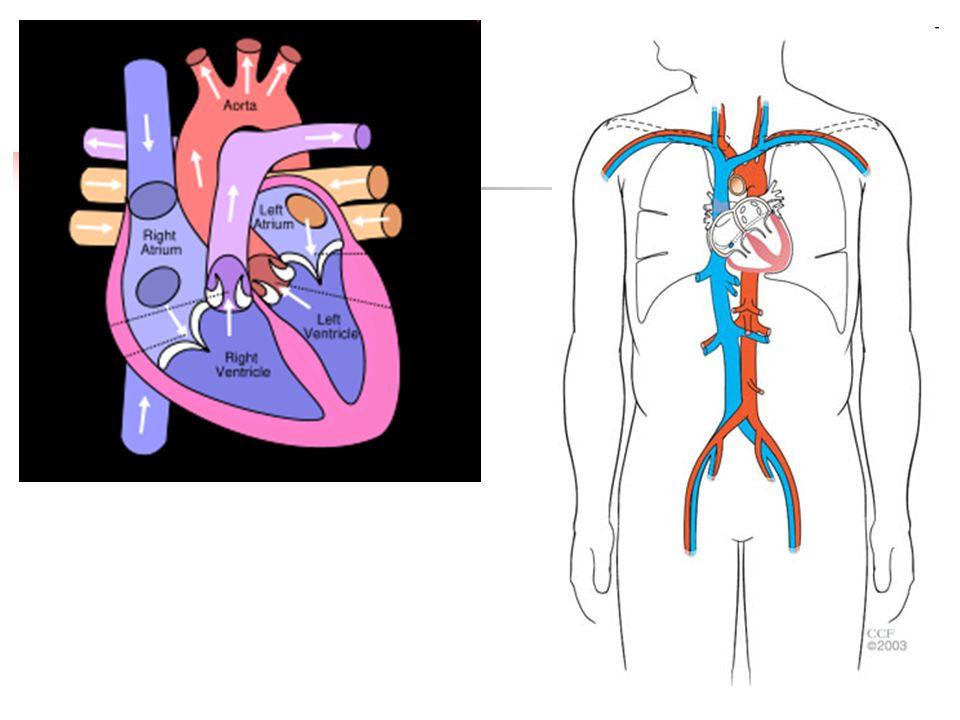 Návrat krve z hlavy:  v.jugularis interna – vnitřní hrdelní žíla – začíná ve foramen jugulare – její přítoky – intrakraniální a extrakraniální žilní splavy (široké žilní kanály zavzaté do dura mater – tvrdé pleny mozkové) – probíhá podél a.carotis communis – vtéká za skloubením claviculy a sterna do v.subclavie – to se nazývá pravý venózní úhel – po spojení těchto dvou žil vzniká v.brachiocephalica dextra et sinistra – hlavopažní žíla a ta ústí do v.cavy superior  v.jugularis externa – zevní hrdelní žíla – sbírá krev z povrchu hlavy, vlévá se do soutoku v.jugularis interna a v.subclavie