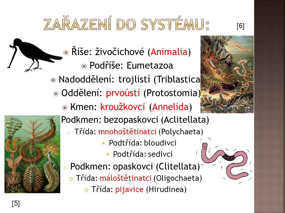 [11] [12] Palolo zelený Měří 30 cm, žije na korálových útesech Tichého oceánu.