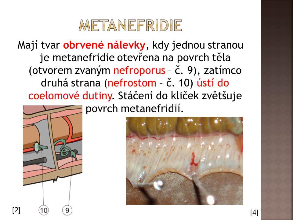 Mají tvar obrvené nálevky, kdy jednou stranou je metanefridie otevřena na povrch těla (otvorem zvaným nefroporus – č.