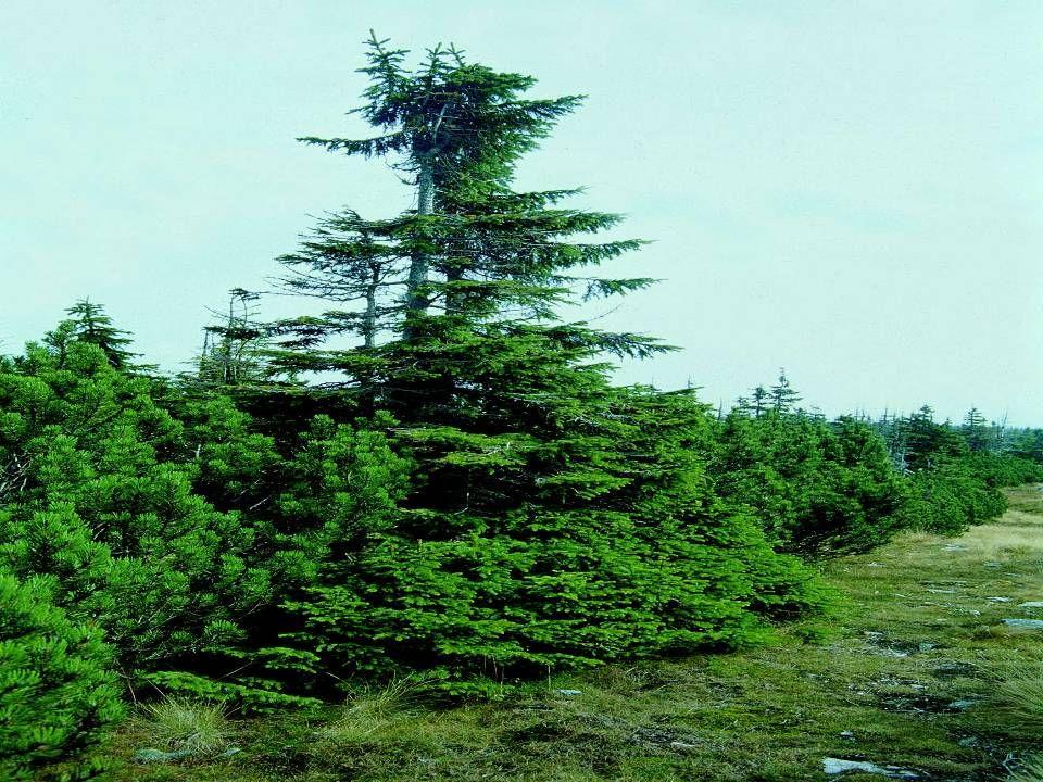 Vliv expozice na horní hranici lesa •Na výšku hranice lesa má v horách významný vliv expozice vůči světovým stranám a převládající směr větru.