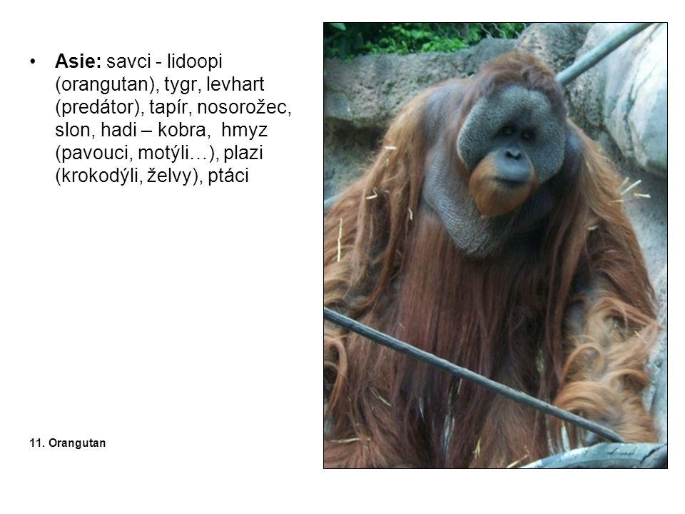 •Asie: savci - lidoopi (orangutan), tygr, levhart (predátor), tapír, nosorožec, slon, hadi – kobra, hmyz (pavouci, motýli…), plazi (krokodýli, želvy),
