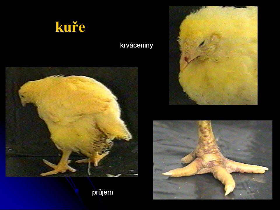 kuře průjem krváceniny