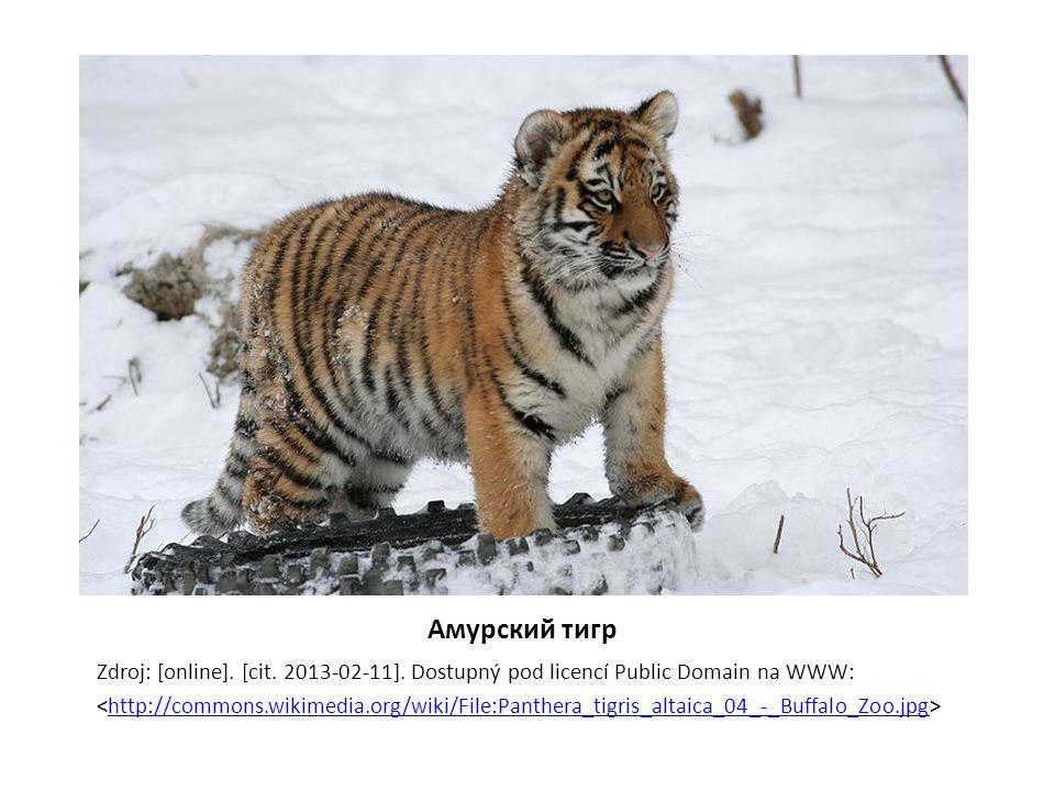 Амурский тигр Zdroj: [online]. [cit. 2013-02-11]. Dostupný pod licencí Public Domain na WWW: http://commons.wikimedia.org/wiki/File:Panthera_tigris_al