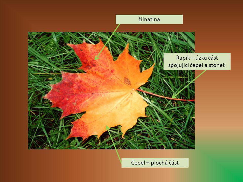 žilnatina Řapík – úzká část spojující čepel a stonek Čepel – plochá část