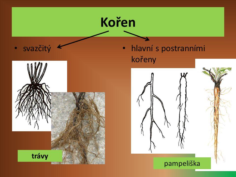 Podzemní části některých bylin Hlízy - brambor Cibule - tulipán Oddenek - zázvor