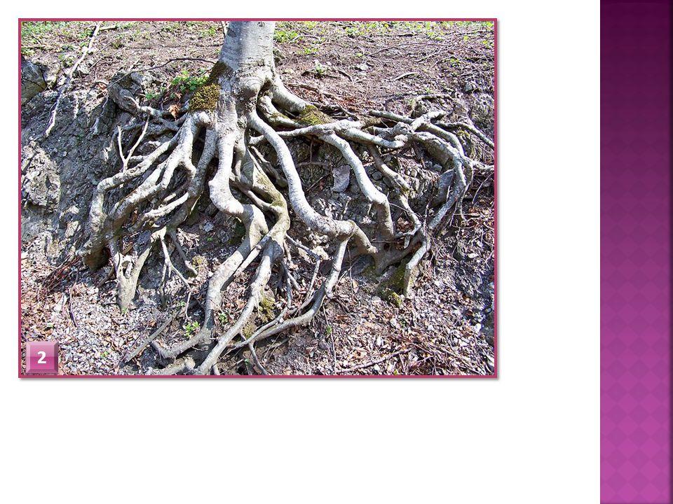  Kořenová pokožka  Na povrchu kořene  Prvotní kůra  Střední válec  Je zde vodivé pletivo (vede vodu a minerální látky)  Dřeň  Vyplňuje střed kořene  Kořenová čepička  Chrání kořen při pronikání do půdy