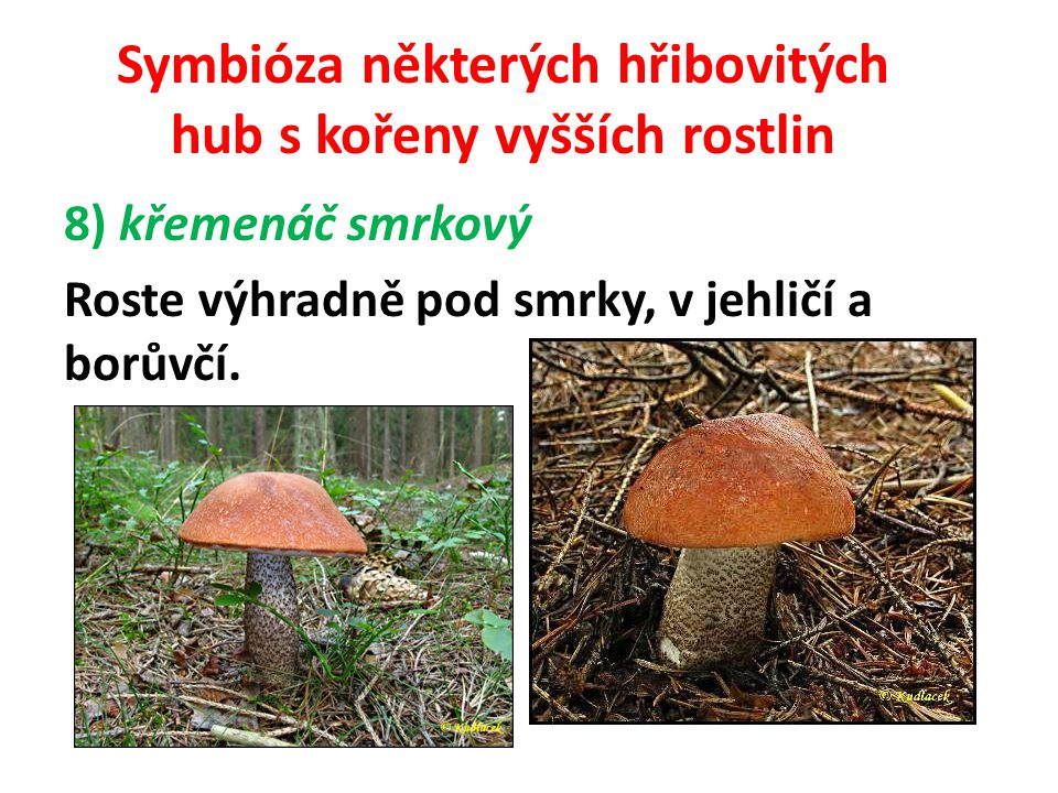 Symbióza některých hřibovitých hub s kořeny vyšších rostlin 9) křemenáč březový Roste pod břízami, s nimiž tvoří mykorhizu.