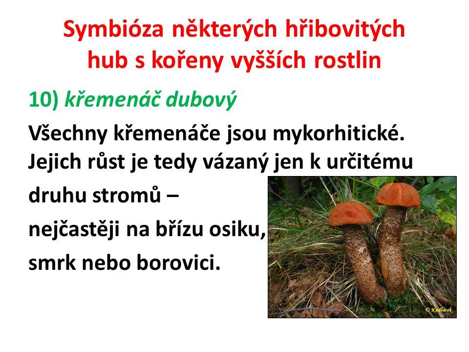 Symbióza některých hřibovitých hub s kořeny vyšších rostlin křemenáč dubový