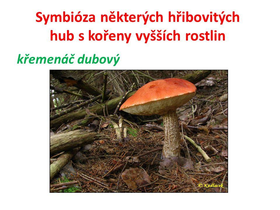 Symbióza některých hřibovitých hub s kořeny vyšších rostlin 11) hřib borový Tvoří mykorhizu hlavně s borovicí lesní.