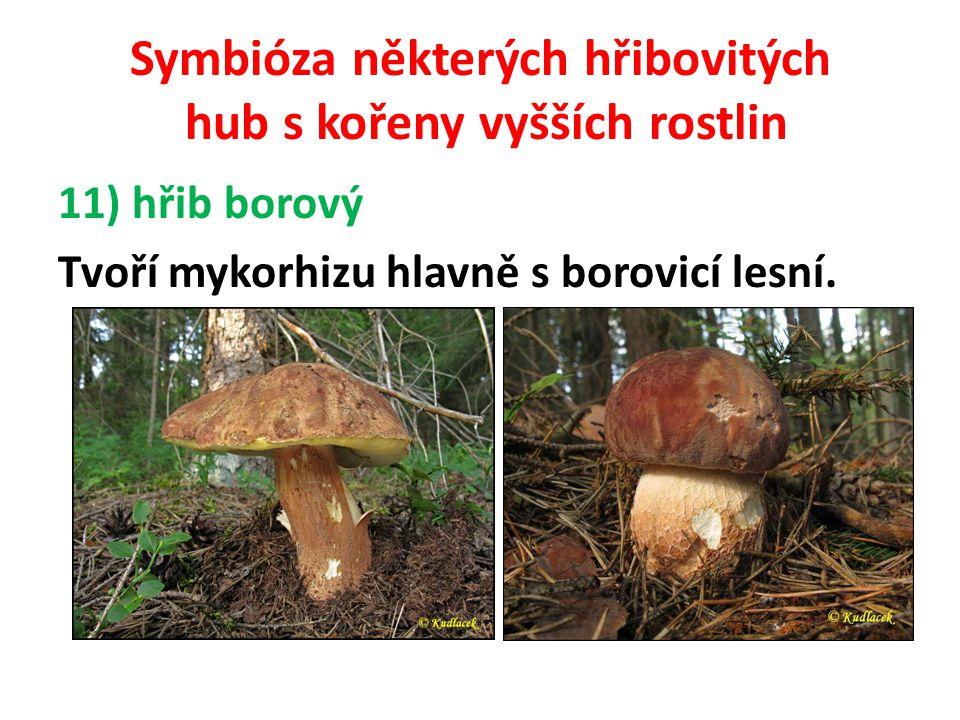 Symbióza některých hřibovitých hub s kořeny vyšších rostlin 12) hřib smrkový Je to mykorhizní houba, která upřednostňuje smrkové monokultury.