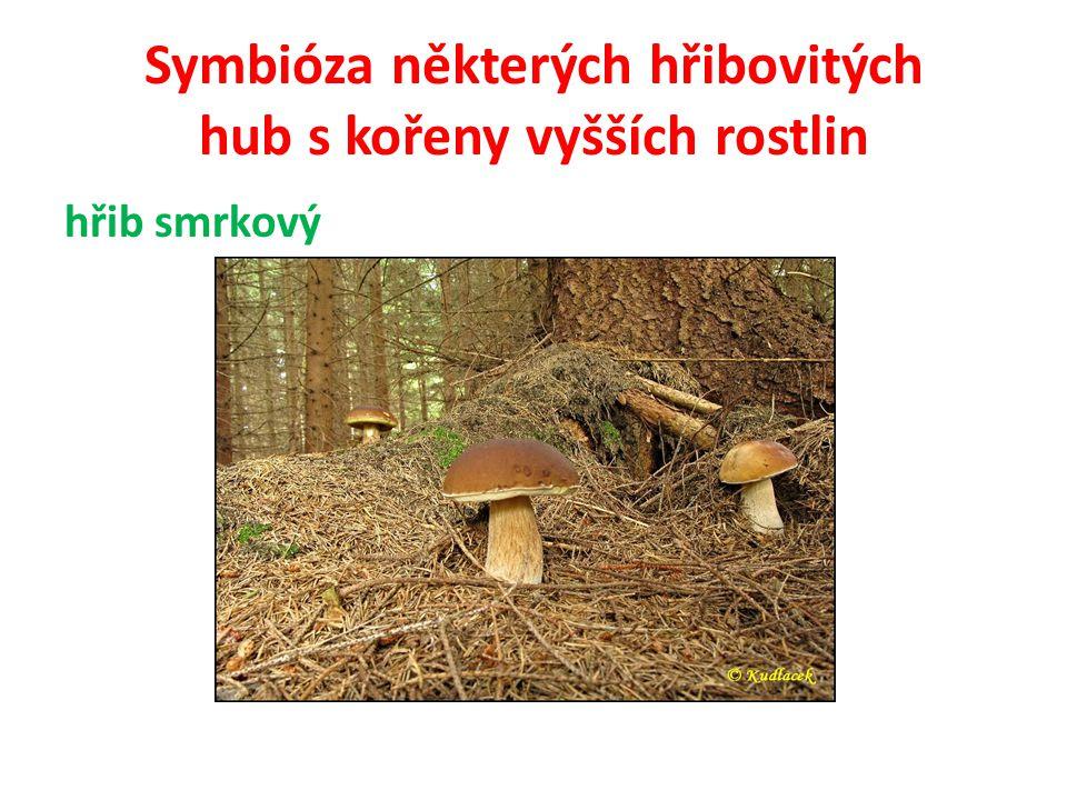 Symbióza některých hřibovitých hub s kořeny vyšších rostlin 13) kozák dubový V listnatých lesích pod duby, buky a habry.