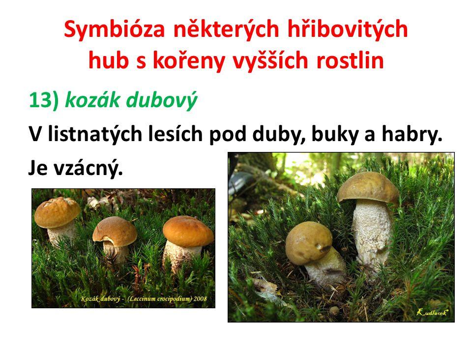 Symbióza některých hřibovitých hub s kořeny vyšších rostlin 14) kozák březový Roste u březových hájků, remízek a samostatně rostoucích břízek, se kterými tvoří mykorhizy.
