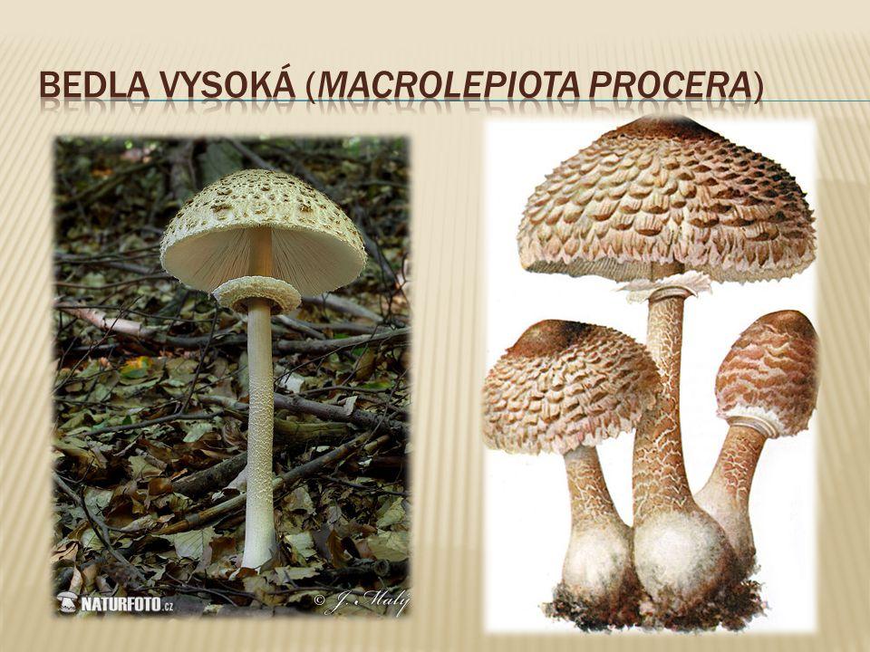 """ jedlé plodnice (pouze za mlada, pak i zapáchají), z čeledi hadovkovitých  roste hojně od června do listopadu ve všech lesích, zejména listnatých  Plodnice jsou v mládí podzemní, vajíčkovité, bílé, 4-6 cm vysoké a 3-5 cm široké, s bílým """"kořínkem naspodu, pak vyrůstá z vajíčka bílý, pórovitý, 10-18 cm vysoký a 2-4 cm široký nosič, který má nahoře žebernatý, špičatý klobouk, pokrytý zeleným, mršinou páchnoucím slizem."""