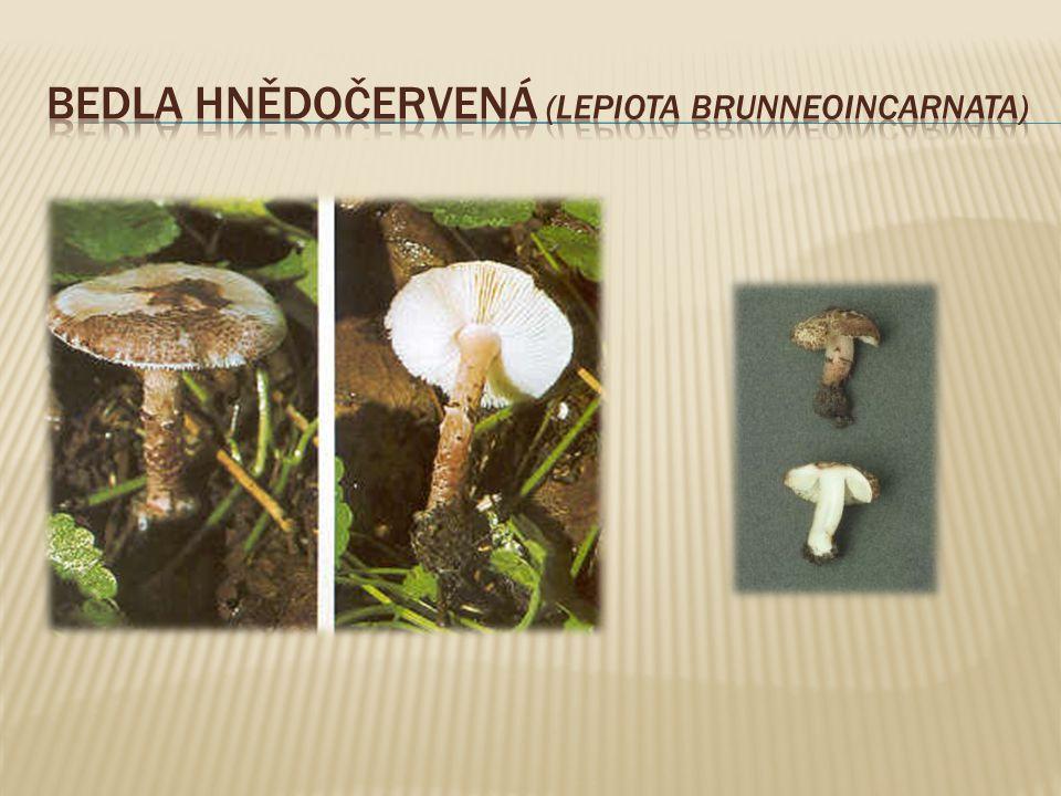  jedlá houba z čeledi holubinkovité  roste od srpna do listopadu ve smrčinách, hlavně v mladém, travnatém smrkovém mlází a na okrajích lesů v trávě.