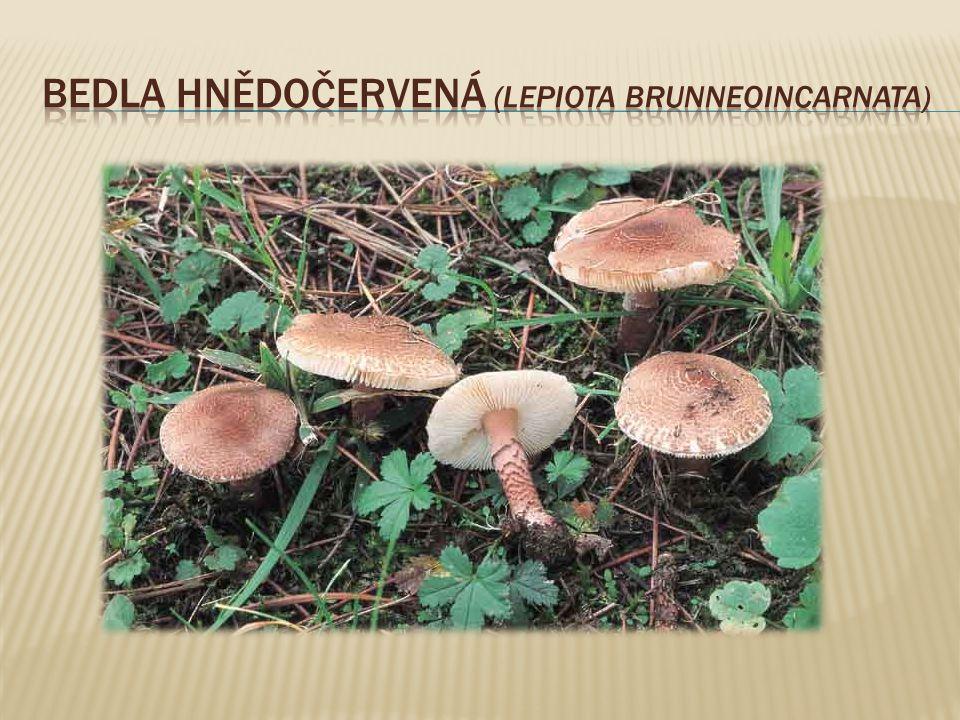  jedovatá houba z čeledi štítovkovitýc  roste v jehličnatých lesích, smíšených i listnatých lesích, na kyselých, písčitých či hlinitých půdách  Klobouk mívá průměr 4-10 cm.