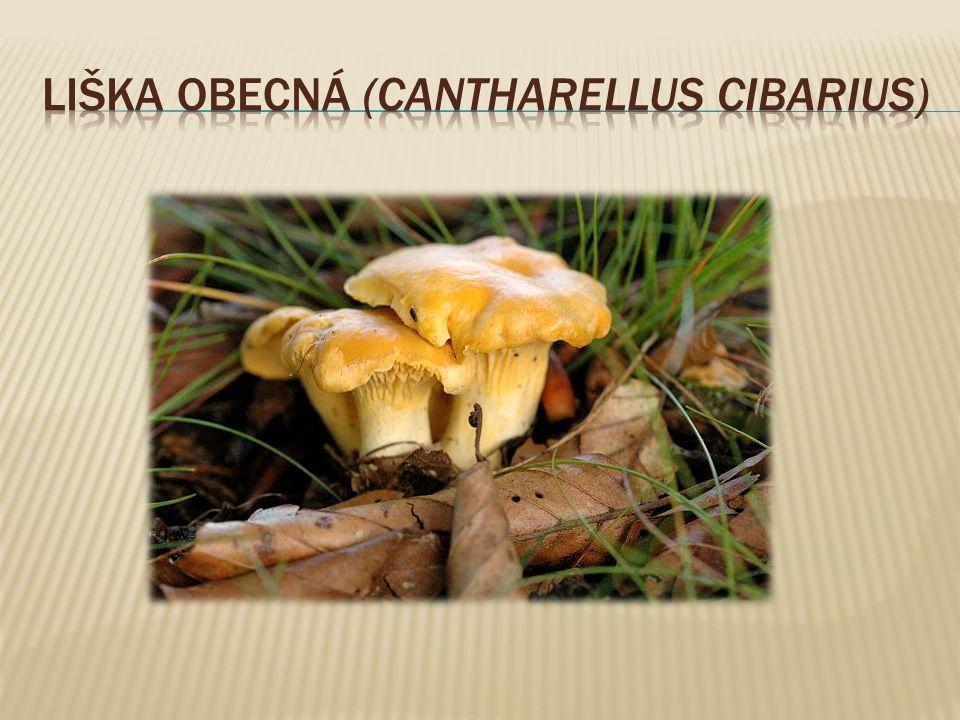  patří do čeledi pečárkovitých hub, je jedlá, má však poměrně nevýraznou chuť  roste pouze v lesích jehličnatých, především ve smrčinách, na místech bohatých na dusíkaté látky.