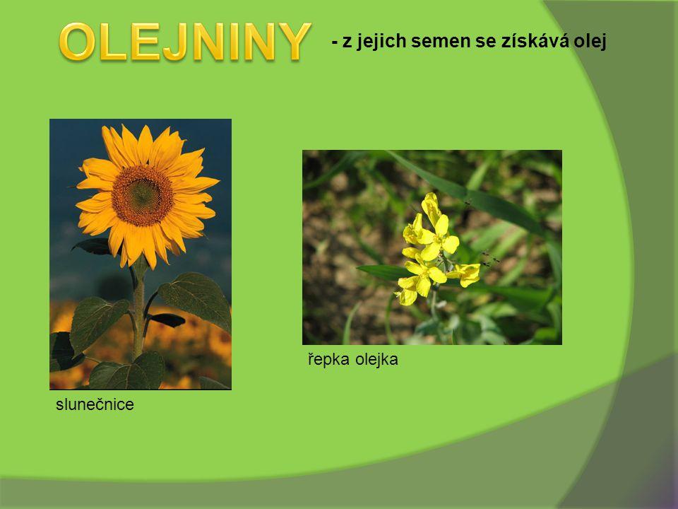 - z jejich semen se získává olej slunečnice řepka olejka