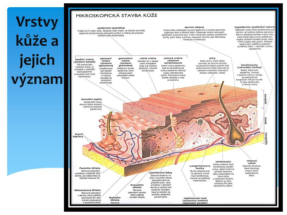 1/Pokožka- nejsvrchnější vrstva kůže, na jejím spodním okraji je zárodečná vrstva tzv.