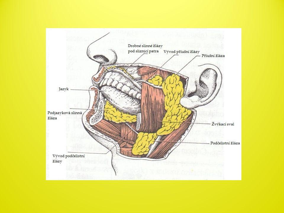 VÝZNAM SLIN • Udržují vlhkost sliznice ústní dutiny • Obalují sousto hlenem a zabraňují mechanickému poškození sliznice ústní dutiny • Rozpouští chemické látky v potravě→ vznik chuťového vjemu • Rozklad některých složek potravy na jednodušší látky pomocí enzymů = rozklad polysacharidů na oligosacharidy pomocí enzymu ptyalinu • Dezinfikují ústní dutiny pomocí lysozymu