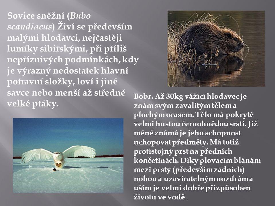 Sovice sněžní ( Bubo scandiacus ) Živí se především malými hlodavci, nejčastěji lumíky sibiřskými, při příliš nepříznivých podmínkách, kdy je výrazný nedostatek hlavní potravní složky, loví i jiné savce nebo menší až středně velké ptáky.