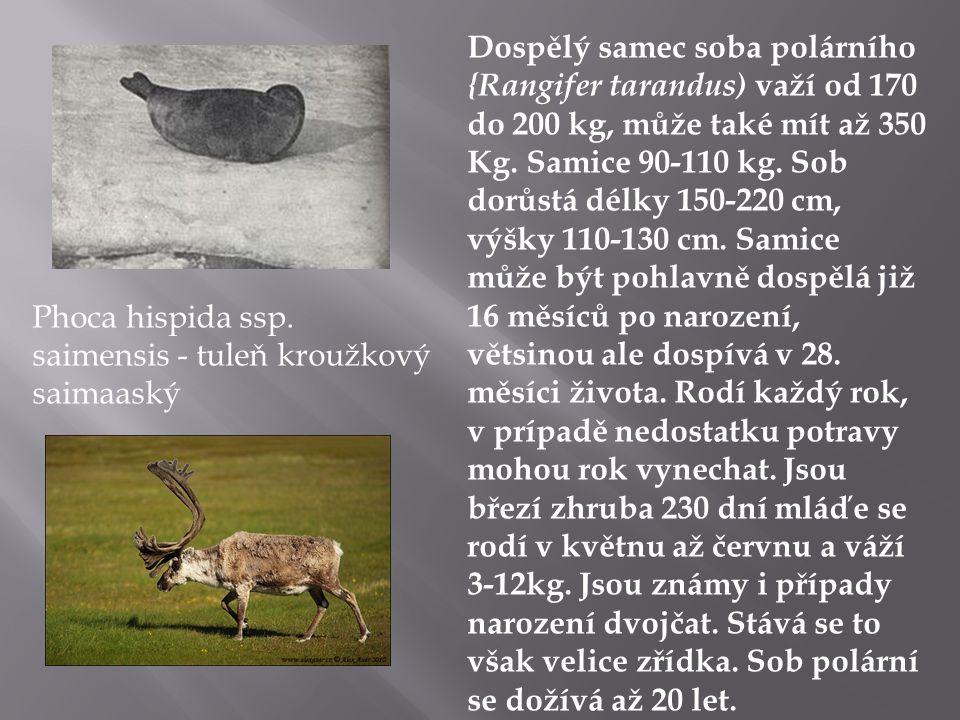 Phoca hispida ssp.