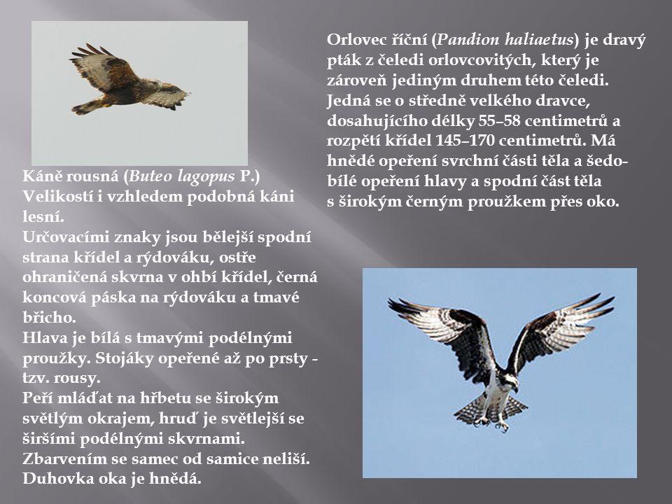 Káně rousná ( Buteo lagopus P.) Velikostí i vzhledem podobná káni lesní. Určovacími znaky jsou bělejší spodní strana křídel a rýdováku, ostře ohraniče