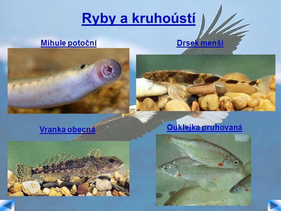 Ryby a kruhoústí Mihule potočníDrsek menší Vranka obecná Ouklejka pruhovaná