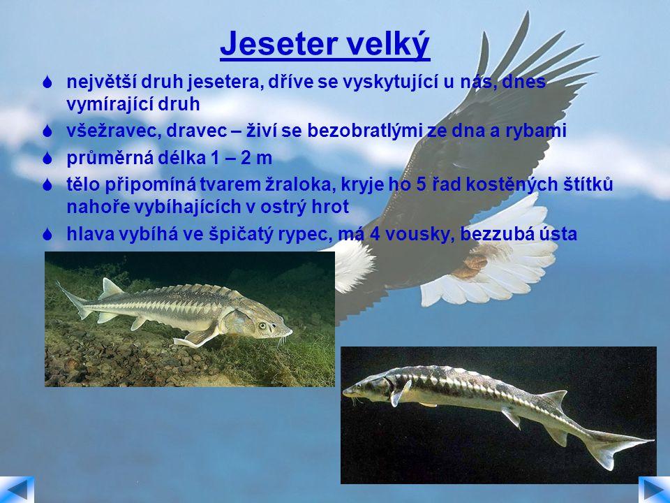 Jeseter velký  největší druh jesetera, dříve se vyskytující u nás, dnes vymírající druh  všežravec, dravec – živí se bezobratlými ze dna a rybami 