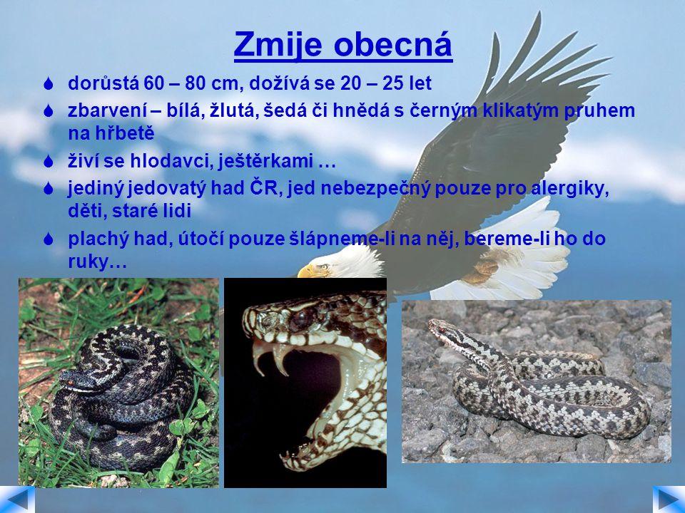 Zmije obecná  dorůstá 60 – 80 cm, dožívá se 20 – 25 let  zbarvení – bílá, žlutá, šedá či hnědá s černým klikatým pruhem na hřbetě  živí se hlodavci