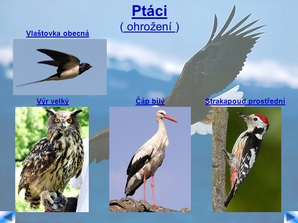 Ptáci ( ohrožení ) Vlaštovka obecná Výr velkýČáp bílýStrakapoud prostřední