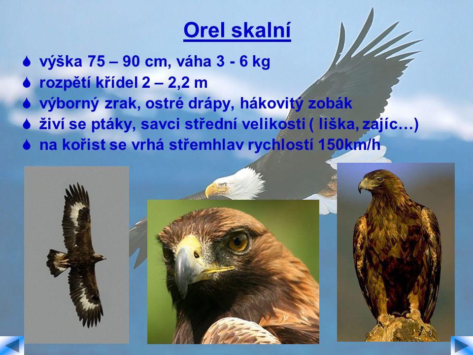 Orel skalní  výška 75 – 90 cm, váha 3 - 6 kg  rozpětí křídel 2 – 2,2 m  výborný zrak, ostré drápy, hákovitý zobák  živí se ptáky, savci střední ve