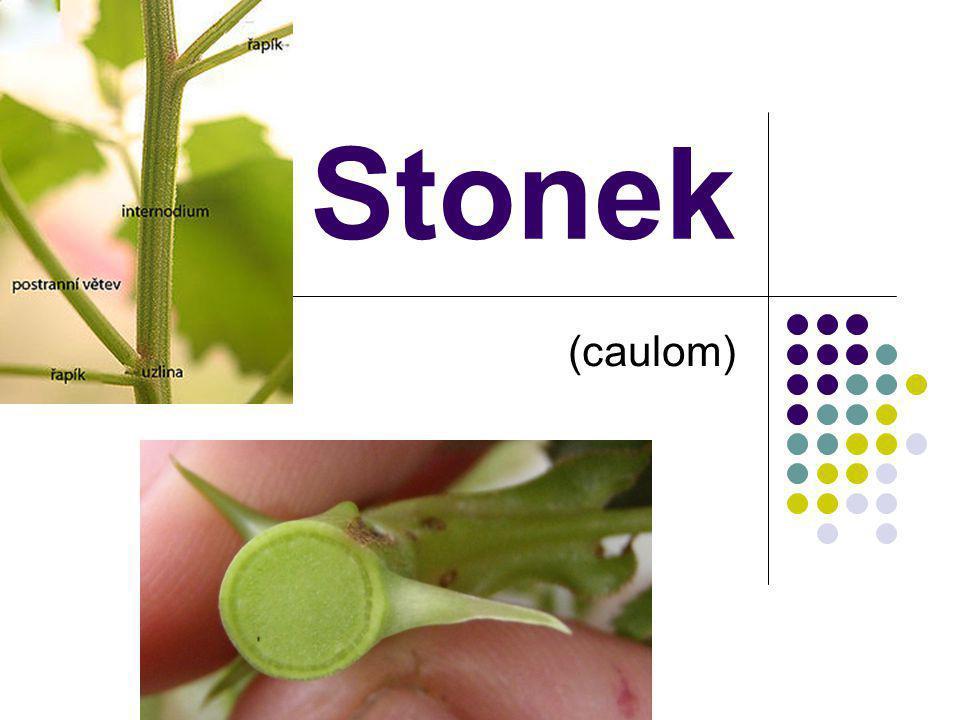  Nadzemní rostlinný orgán  Spojuje: kořen, listy a květy  Neomezeného růstu  Dělí se: uzliny (nody - vyrůstají listy) články (internodia - prodlužování stonku)